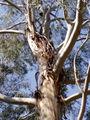 Eucalyptus benthamii 02.jpg