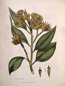 E. robusta por James Sowerby, de James Edward Smith's 1793 A Specimen of the Botany of New Holland
