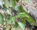Eucalyptus scias - Lovett Bay.jpg