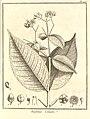 Eugenia coumete Aublet 1775 pl 196.jpg