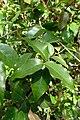 Eugenia uniflora kz1.jpg