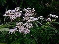 Eupatorium perfoliatum - Common Boneset.jpg