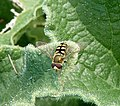 Eupeodes (luniger or corollae.^ ). Syrphidae - Flickr - gailhampshire.jpg