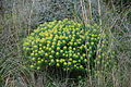 Euphorbia bivonae Zingaro 0049.jpg