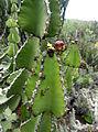 Euphorbia cooperi kz4.JPG