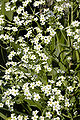 Euphorbia corollata.jpg