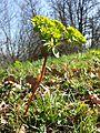 Euphorbia helioscopia sl3.jpg