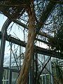 Euphorbia leucodendron BotGardBln07122011G.JPG