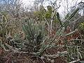 Euphorbia sp.3 - Mt. Yoloko (10003630084).jpg
