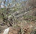 Euphorbia sp. from Mount Maco (5273122033).jpg