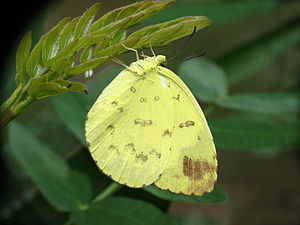 Eurema blanda - Laying eggs on Albizia julibrissin