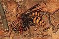 European Hornet - Vespa crabro, King's Landing, Calvert County, Maryland (37734681462).jpg