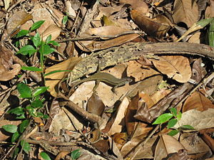 Plant litter - A skink, Eutropis multifasciata, in leaf litter in Sabah, Malaysia