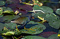 Everglades29(js)-American Purple Gallinule.jpg