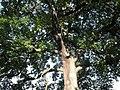 Fagales - Quercus robur - 013.jpg