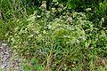 Falcaria vulgaris (8447756403).jpg
