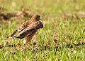 Falco tinnunculus, Israel 3.jpg