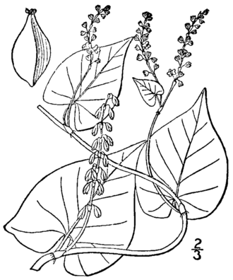 Polygonum ciliinode - Drawing from the 1913 illustrated flora of the northern United States, Canada and the British Possessions