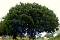 Falso laurel - Ficus (Ficus benjamina) (14575414955).jpg