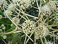 Fatsia japonica.006 - Zapateira.jpg