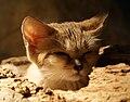 Felis margarita 4.jpg