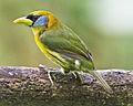 Female Red-headed Barbet in Ecuador (14799181451).jpg