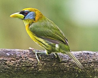 New World barbet - A female red-headed barbet (Eubucco bourcierii) in Peru