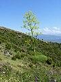 Ferula communis 1 (Corse).JPG