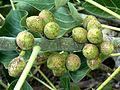 Ficus abutilifolia, vye, a, Pretoria.jpg