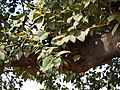 Ficus drupacea Thunb. (5780803957).jpg