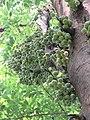 Ficus racemosa fruits at Makutta (12).jpg
