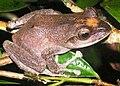 Fiji tree frog Tamara Osborne.JPG
