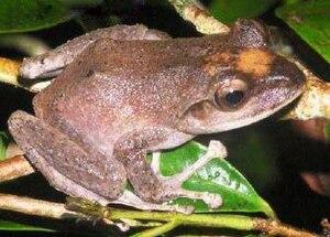Platymantis vitiensis - Image: Fiji tree frog Tamara Osborne