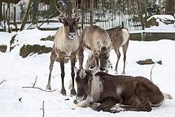 Finnish forest reindeer (Rangifer tarandus fennicus).jpg