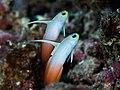 Fire dartfish (Nemateleotris magnifica) (48651640768).jpg