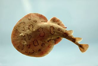 Electric ray - Lesser electric ray (Narcine bancroftii)