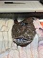 Fiskebryggen, Mathallen, Fishmarket, Bergen, Norway 2018-03-18. Lophius piscatorius (the angler, monkfish, breiflabb), etc. displayed for sale at Fjellskål sea food store C.jpg
