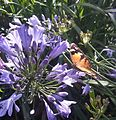 Flagstaff Gardens Agapanthus and Butterfly.jpg