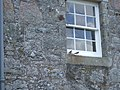 Fledgling House Martins (Delichon urbicum) - geograph.org.uk - 884129.jpg