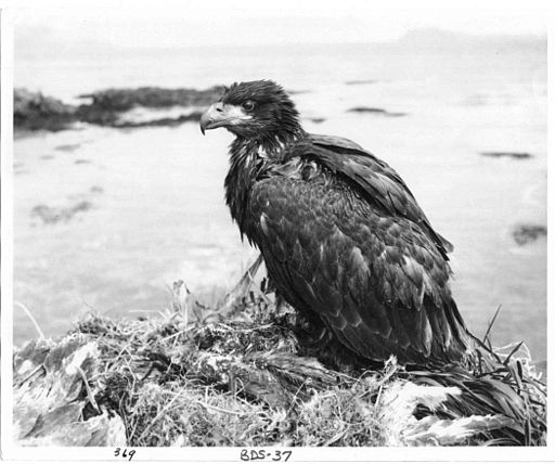 Fledgling bald eagle in nest vintage old historical photo