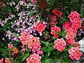Fleurs, jardin public, Saintes.JPG