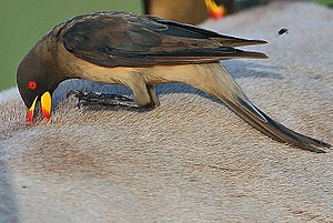 Cleaning symbiosis - Cleaning behaviour of yellow-billed oxpecker (Buphagus africanus) on the back of a large mammal