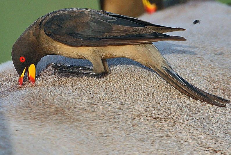 Flickr - Rainbirder - Yellow-billed Oxpecker (Buphagus africanus)