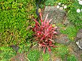 Flickr - brewbooks - Bromeliad at Ayrlies.jpg