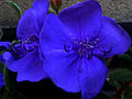 Flores (6117433426).jpg
