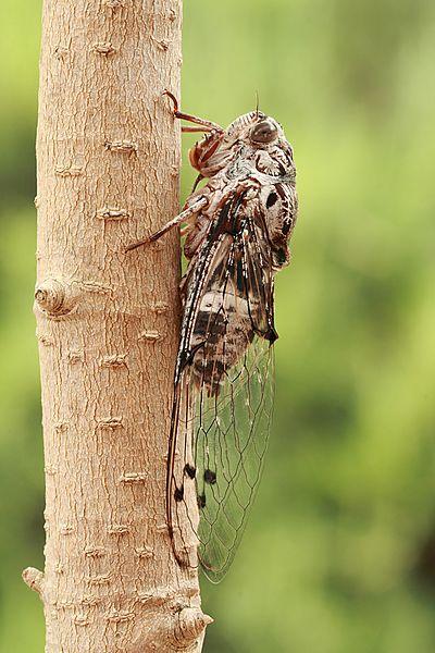 File:Floury Baker cicada side.JPG