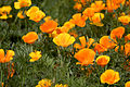 Flower, California poppy - Flickr - nekonomania.jpg