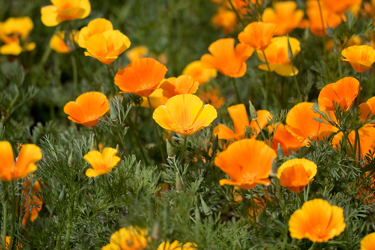 California poppy is native to the state and great for California gardening.