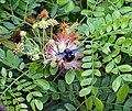 Flower & flower buds- Samanea saman I IMG 3407.jpg