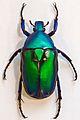 Flower Beetle (Rhomborhina resplendens chatanayi) (8362442036).jpg